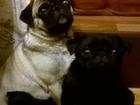 Фото в Собаки и щенки Продажа собак, щенков Продам чёрную девочку мопса 1, 5 месяца самостоятельно в Новосибирске 6000
