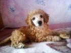 Изображение в Собаки и щенки Продажа собак, щенков Здоровый, красивый, очень умный малыш! ! в Новосибирске 8000
