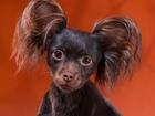 Изображение в Собаки и щенки Продажа собак, щенков Предлагается для vязки Русский д/ш той кобель. в Новосибирске 0