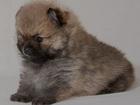 Изображение в Собаки и щенки Продажа собак, щенков Предлагаю для продажи алиментных щенков цверг в Новосибирске 70000