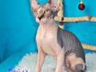 Фото в   родам котёнка девочку порода Канадский сфинкс. в Новосибирске 15000