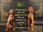 Изображение в Собаки и щенки Продажа собак, щенков В питомнике выжл Охота поиска 07. 11. 2016 в Новосибирске 20000