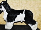 Увидеть фото Вязка собак Американский кокер-спаниель ищет СУЧКУ для вязки 37788939 в Новосибирске