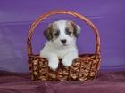Фото в Собаки и щенки Продажа собак, щенков Породные, клубные, имеют щенячью карточку в Новосибирске 0