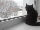 Изображение в Отдам даром - Приму в дар Отдам даром Очаровательный черный пушистый котенок (кошечка в Новосибирске 0