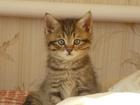 Фото в Кошки и котята Продажа кошек и котят Британский котик, дата рождения 15 октября, в Новосибирске 2000