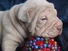 Изображение в Собаки и щенки Продажа собак, щенков Предлагаем Вашему вниманию замечательных в Новосибирске 0