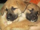 Фото в Собаки и щенки Продажа собак, щенков Отдам в хорошие руки щенков крупной собаки в Новосибирске 0