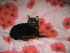 Фото в Кошки и котята Вязка Кошечка бомбейской породы просит кота. Очень в Новосибирске 100