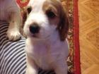 Изображение в Собаки и щенки Продажа собак, щенков Продам замечательных щенков английского кокер в Новосибирске 0