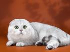Foto в Кошки и котята Вязка Имеет титул чемпиона, отличную родословную, в Новосибирске 0