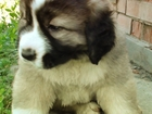 Фотография в Собаки и щенки Продажа собак, щенков Продам щенков кавказской овчарки, девочка в Новосибирске 15000