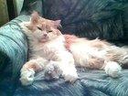 Скачать бесплатно фото Вязка Вязка кошек 38483395 в Новосибирске