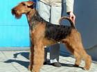 Фото в Собаки и щенки Продажа собак, щенков щенки эрдельтерьера от титулованных родителей в Новосибирске 0
