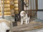 Фотография в Собаки и щенки Продажа собак, щенков Родились 21 февраля 2017. В помете 5 щенков, в Новосибирске 15000