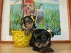 Изображение в Собаки и щенки Продажа собак, щенков Два серьезных мальчика и две милые девочки в Новосибирске 14000