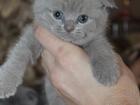 Изображение в Кошки и котята Продажа кошек и котят Продам божественных котят шотландской породы. в Новосибирске 3000