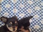 Изображение в Собаки и щенки Продажа собак, щенков очаровательные девчушки озорные и ласковые в Новосибирске 5000
