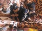 Фотография в Собаки и щенки Продажа собак, щенков недорого продам в хорошие руки симпатичных в Новосибирске 5000