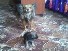 Фото в   тойчики коричневого цвета. 1. 5 месяца.  в Новосибирске 10000