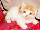 Фотография в Кошки и котята Продажа кошек и котят др 11. 03. родители -чемпионы. питомник. в Новосибирске 7000
