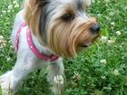 Просмотреть фотографию Вязка собак Ищем девочку для вязки 39085932 в Новосибирске