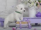 Фотография в Собаки и щенки Продажа собак, щенков Продаются щенки вест хайленд вайт терьера. в Новосибирске 60000