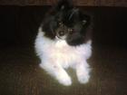 Уникальное фото Вязка собак Красивый мальчик шпица ищет себе подружку 39368472 в Новосибирске