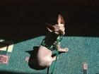 Фото в Кошки и котята Продажа кошек и котят Отдадим красавицу кошку (1, 5 г) Зару в самые в Новосибирске 0