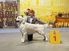 Скачать бесплатно изображение Вязка собак Предлагается к племенному разведению кобель золотистого (голден) ретривера 43898865 в Новосибирске