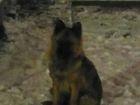Смотреть foto Потерялись животные 7 ноября найдена сука овчарки, молодая, спокойная, 44561447 в Новосибирске