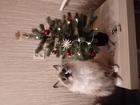 Новое фото Вязка кошек Ищем кота примерно такой же породы и окраса 49751665 в Новосибирске
