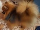 Скачать foto Вязка собак Немецкий Цвергшпиц с отличной родословной ищет невест для продолжения рода, 53926267 в Новосибирске