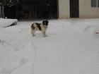 Уникальное фото Вязка собак Кобель - Московская сторожевая - ищет пару 55070556 в Новосибирске