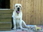 Смотреть foto Вязка собак Мальчик лабрадор-вязки РКФ 55382781 в Новосибирске