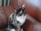 Новое фото Вязка кошек Для молодой кошечки СРОЧНО нужен кавалер! 62834746 в Новосибирске