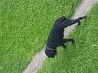 Увидеть фото  Черный терьер бродит по центру города, в ошейнике, Кобель 67146325 в Новосибирске