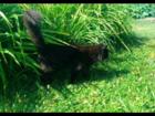Скачать фото Вязка кошек Красавец мейн кун темно-шоколадного цвета 68042368 в Новосибирске