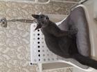 Скачать изображение Вязка кошек Вязка русский голубой кот 68246783 в Новосибирске