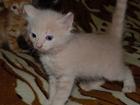 Скачать фото Отдам даром - приму в дар Отдам даром трех симпатичных котят в заботливые руки, 70360529 в Новосибирске