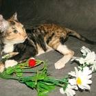 Породистый котёнок гипоаллергенные кошки