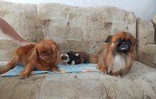 Продам щенков Пекинеса