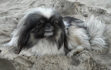 Потерялась собака породы пекинес