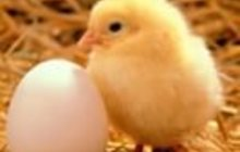 Инкубационное яйцо бройлера