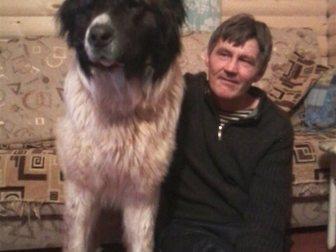 Увидеть фото Другие животные Щенки кавказской овчарки 32355597 в Новосибирске
