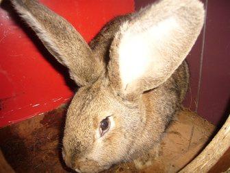 Просмотреть фото Грызуны Кролики мясных пород 32660556 в Новосибирске