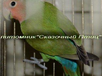 Увидеть изображение Птички Продам розовощекого неразлучника, 32829294 в Новосибирске