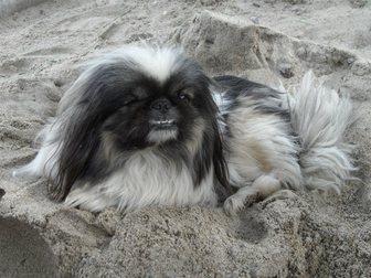 Уникальное фотографию Найденные Потерялась собака породы пекинес 33189935 в Новосибирске