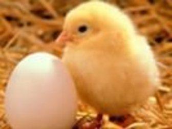 Увидеть фотографию  Инкубационное яйцо бройлера, Бройлер, утята, гусята, индюшата, перепела, 34158961 в Новосибирске