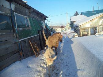 Новое изображение Другие животные продам козла возрост 4 года 34730739 в Новосибирске